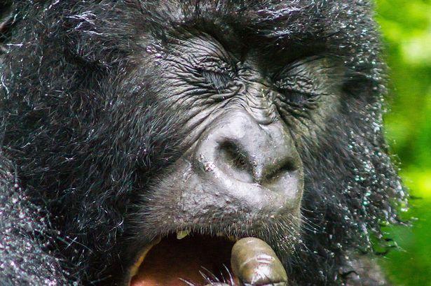 Як горила у носі колупалася - фото 1