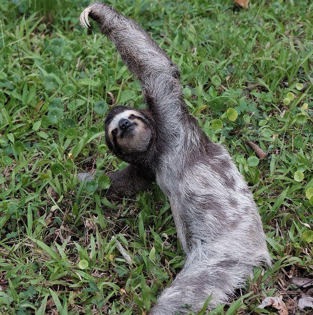 Як лінивець працює інструктором з йоги - фото 3