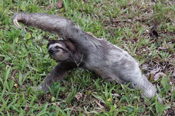 Як лінивець працює інструктором з йоги - фото 1