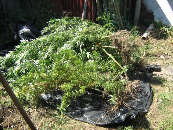 На Миколаївщині наркоагроном турботливо вирощував на городі коноплю - фото 3