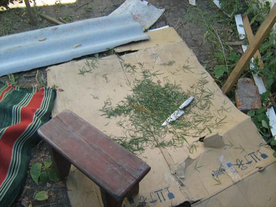На Миколаївщині наркоагроном турботливо вирощував на городі коноплю - фото 2