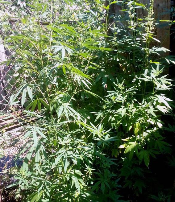 У Харкові підстаркуватий наркоман виростив плантацію коноплі  - фото 1