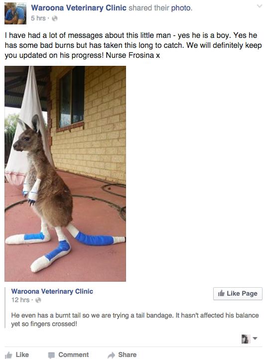 Як в Австралії лікують миле кенгурятко після жахливої пожежі  - фото 1