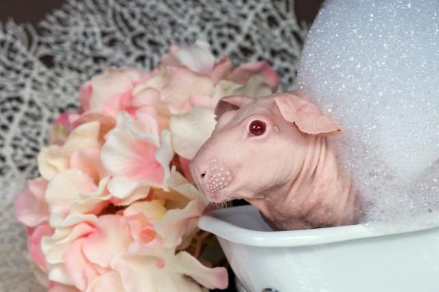 Як лиса морська свинка приймає ванну (18+, ФОТО) - фото 2