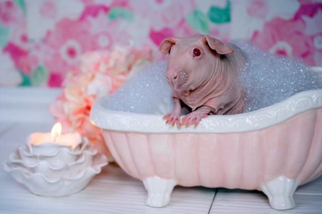 Як лиса морська свинка приймає ванну (18+, ФОТО) - фото 1