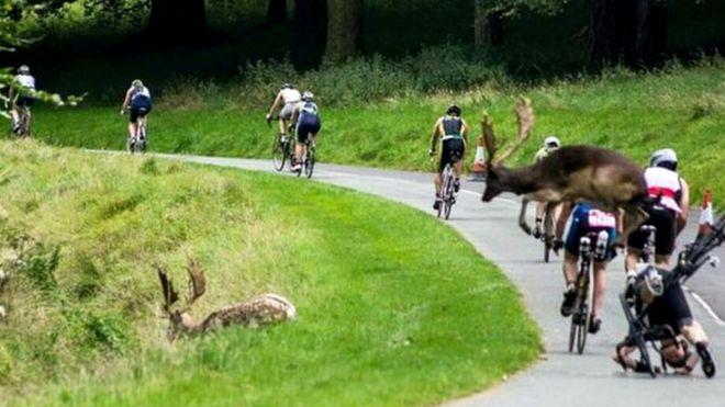 У Дубліні олень збив велосипедиста під час змагань з тріатлону  - фото 1