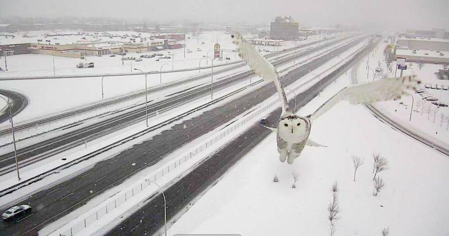 Як камера спостереження заскочила неймовірно чудову снігову сову  - фото 3