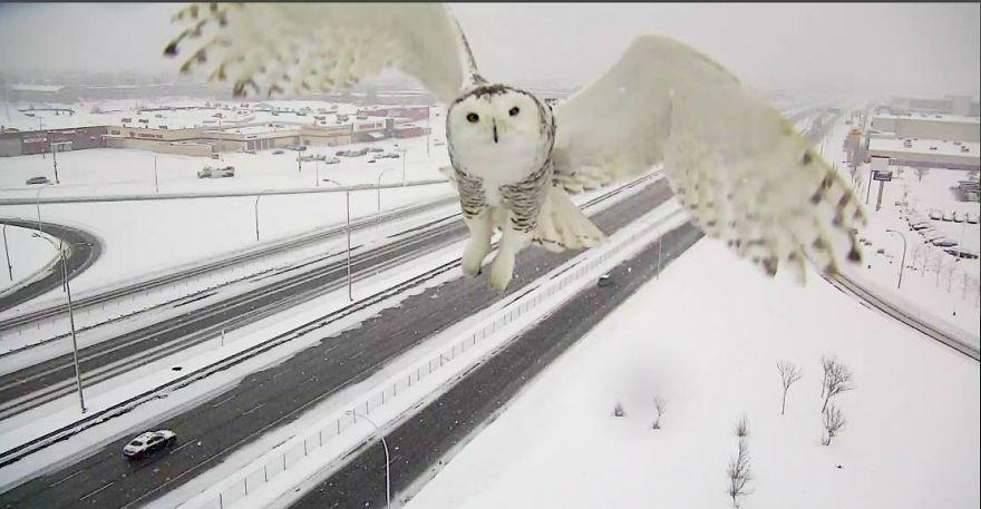 Як камера спостереження заскочила неймовірно чудову снігову сову  - фото 1