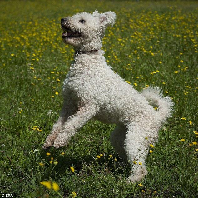 Кудлаті живчики: Американці ввели нову породу собак - фото 2