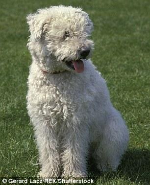 Кудлаті живчики: Американці ввели нову породу собак - фото 1