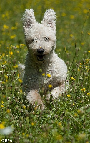 Кудлаті живчики: Американці ввели нову породу собак - фото 4