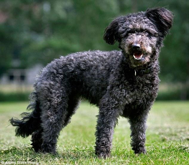 Кудлаті живчики: Американці ввели нову породу собак - фото 3