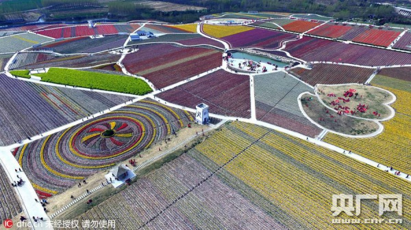 У Китаї розквітли мільйони тюльпанів  - фото 2