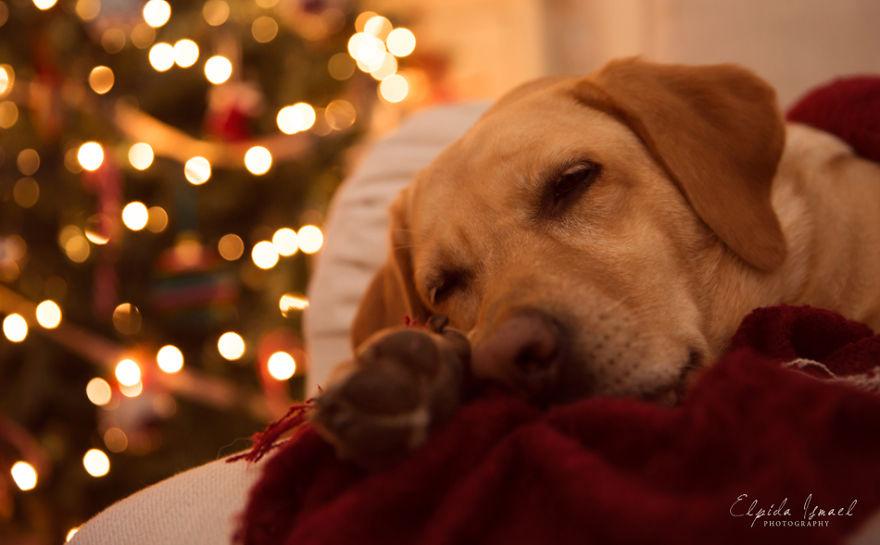 Як виглядає Різдво з милим лабрадором  - фото 4
