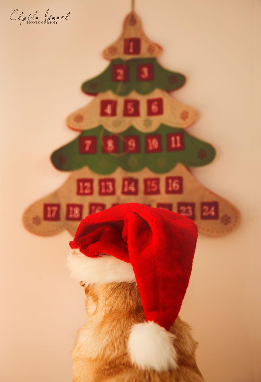 Як виглядає Різдво з милим лабрадором  - фото 7