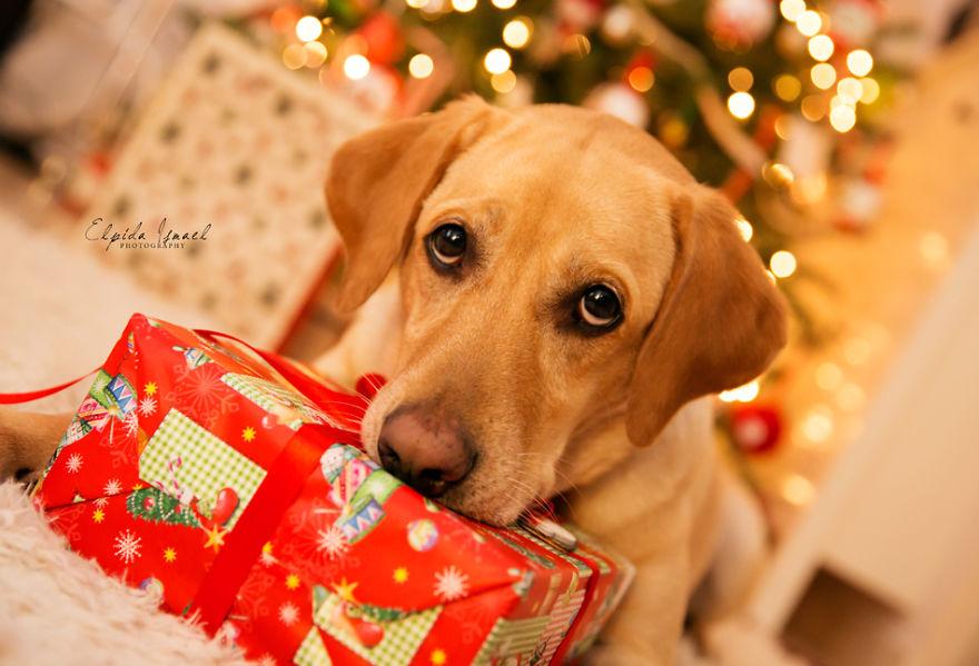 Як виглядає Різдво з милим лабрадором  - фото 6