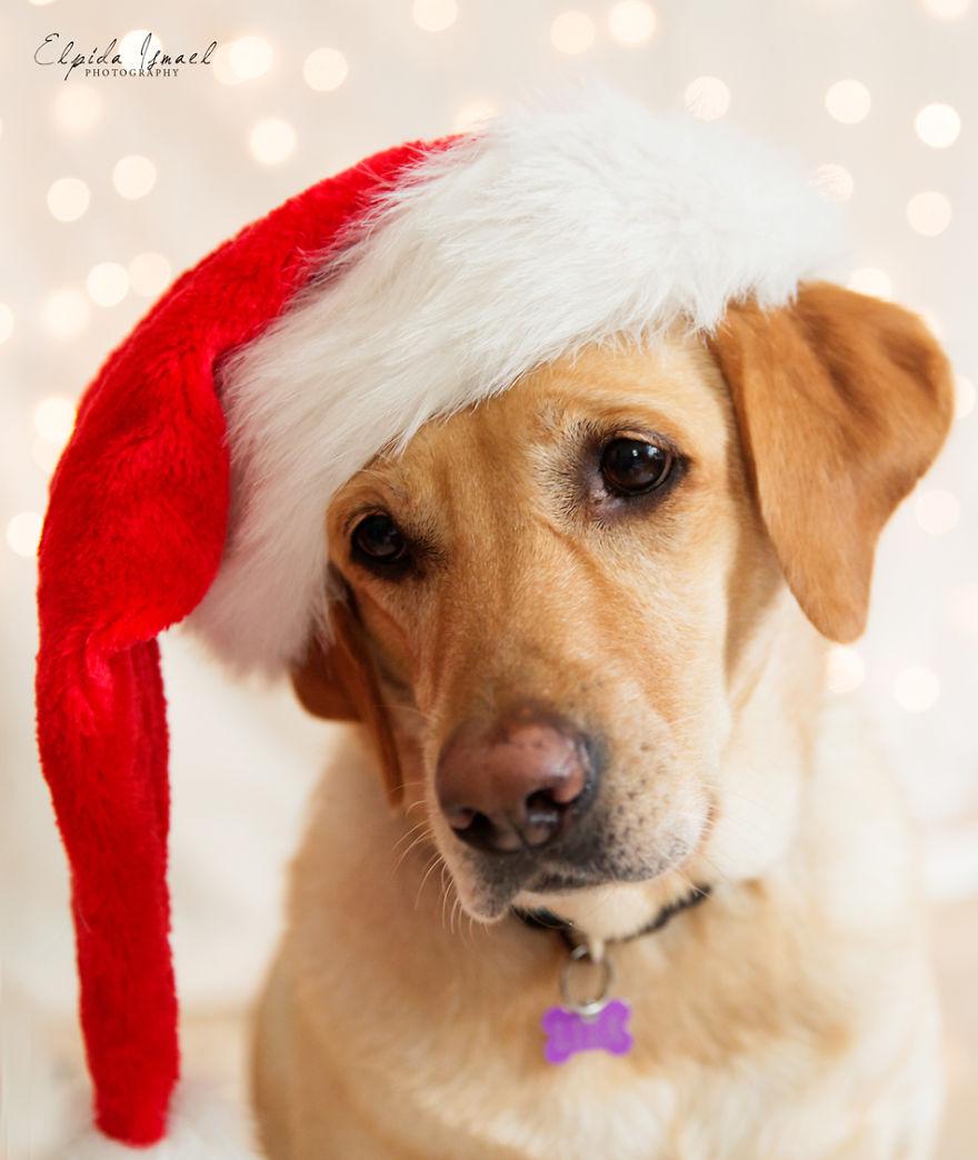 Як виглядає Різдво з милим лабрадором  - фото 1