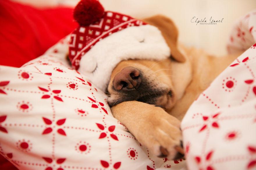 Як виглядає Різдво з милим лабрадором  - фото 5