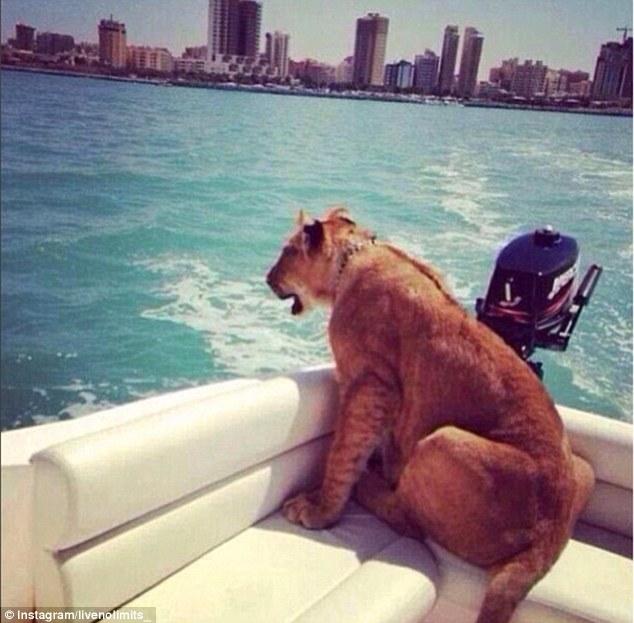 Як багатії мучать левів, тигрів і гепардів у сумках і на диванах - фото 6
