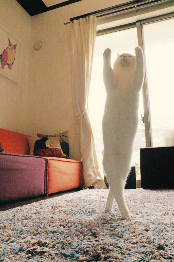 Білий кіт, який танцює балет, поки ніхто не бачить, підірвав мережу  - фото 6