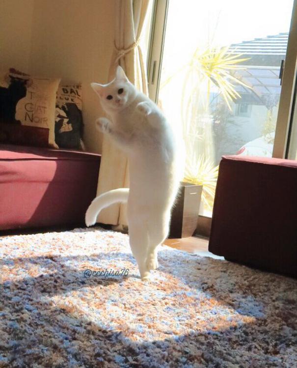 Білий кіт, який танцює балет, поки ніхто не бачить, підірвав мережу  - фото 1