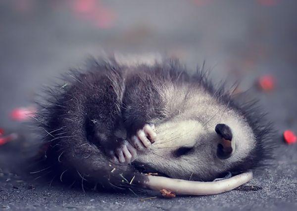 """""""Мімішні"""" тварини: дивовижні посуми та опосуми з Австралії - фото 9"""