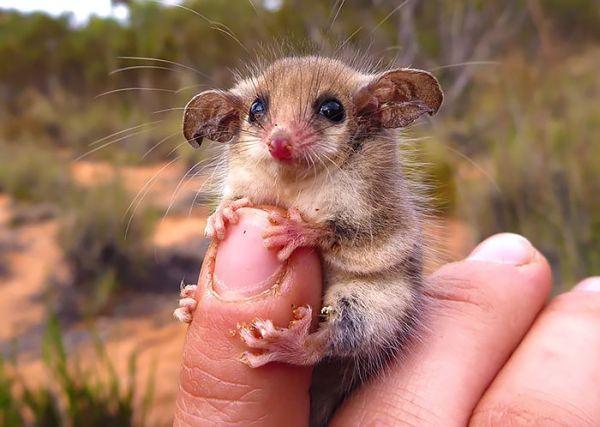 """""""Мімішні"""" тварини: дивовижні посуми та опосуми з Австралії - фото 10"""