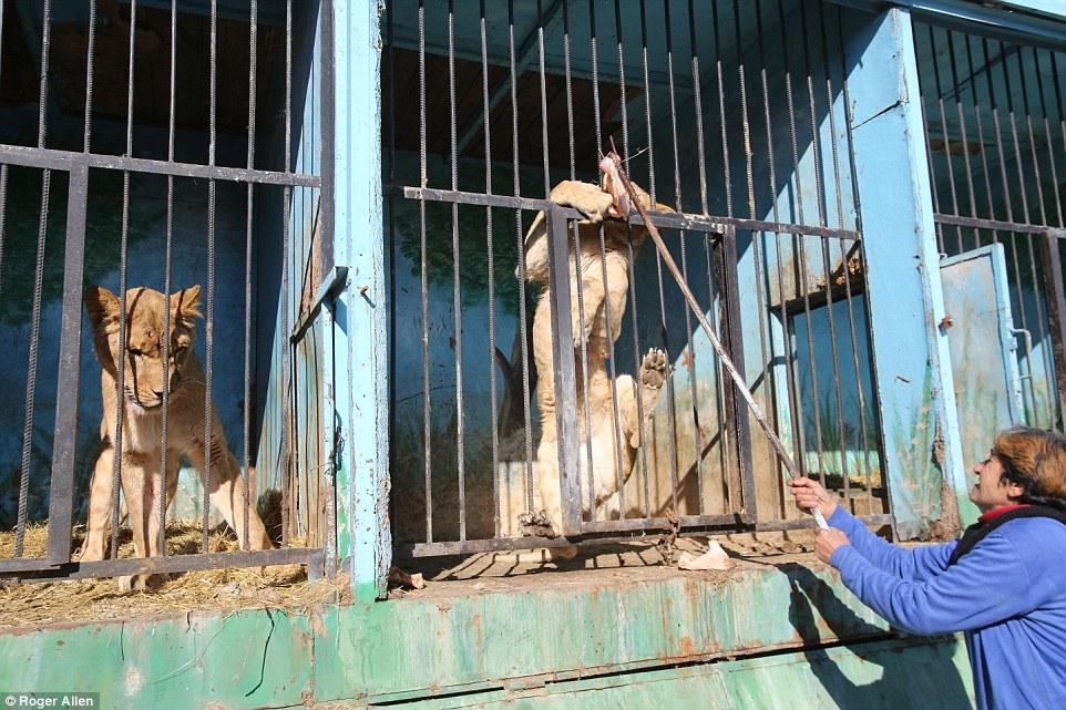 Найсумніший зоопарк: У Гюмрі леви, ведмеді та свинки страждають від голоду - фото 4
