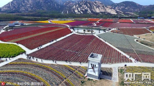 У Китаї розквітли мільйони тюльпанів  - фото 1