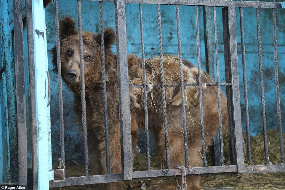 Найсумніший зоопарк: У Гюмрі леви, ведмеді та свинки страждають від голоду - фото 1