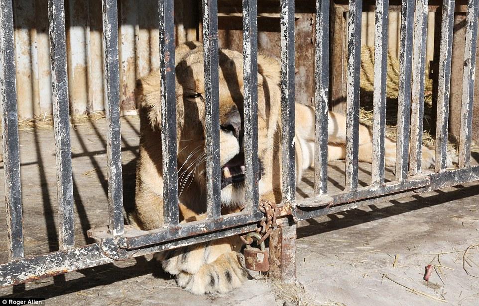 Найсумніший зоопарк: У Гюмрі леви, ведмеді та свинки страждають від голоду - фото 2