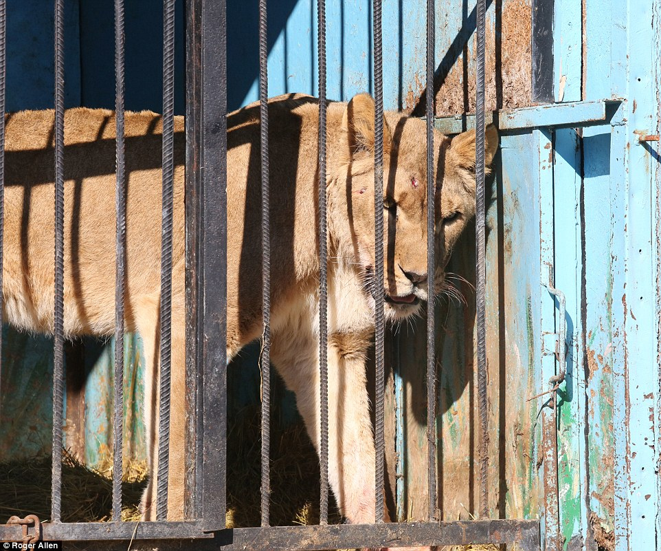 Найсумніший зоопарк: У Гюмрі леви, ведмеді та свинки страждають від голоду - фото 7