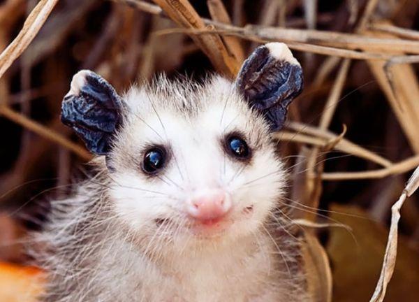 """""""Мімішні"""" тварини: дивовижні посуми та опосуми з Австралії - фото 11"""