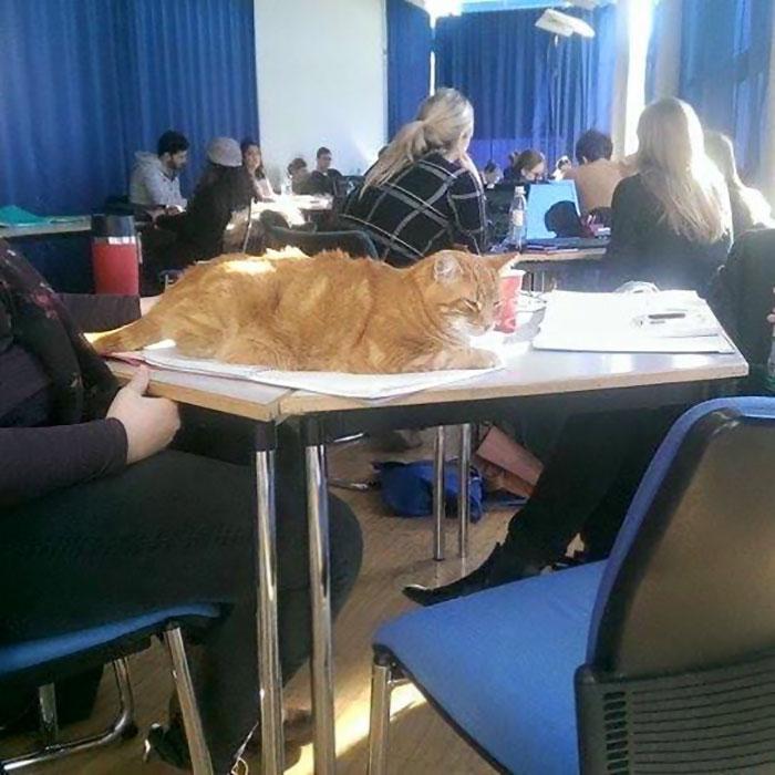 Як кіт допомагає студентам знімати стрес - фото 3