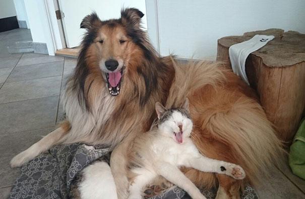 Як коллі прихистила котеня, а вівчарка стала охоронцем лиси - фото 2