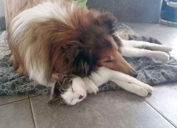 Як коллі прихистила котеня, а вівчарка стала охоронцем лиси - фото 3