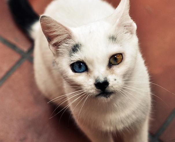 Як виглядають кішки із різнокольоровими очима  - фото 8