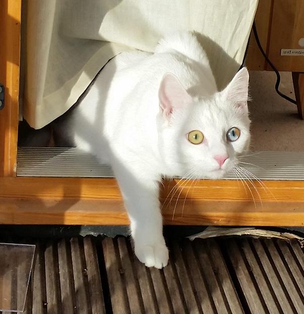 Як виглядають кішки із різнокольоровими очима  - фото 6