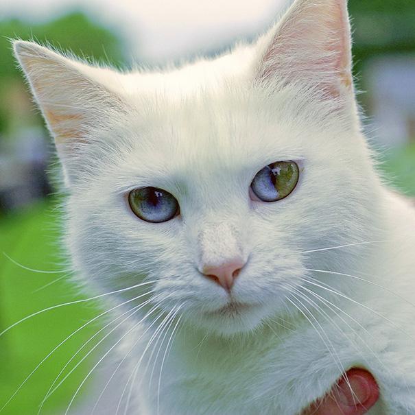 Як виглядають кішки із різнокольоровими очима  - фото 5