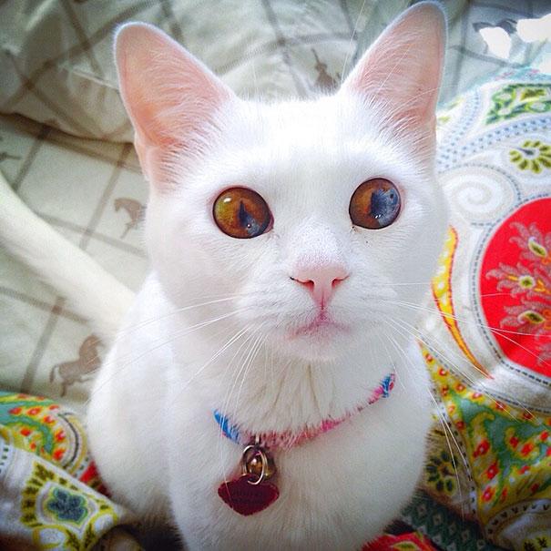 Як виглядають кішки із різнокольоровими очима  - фото 4