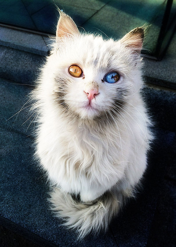 Як виглядають кішки із різнокольоровими очима  - фото 3