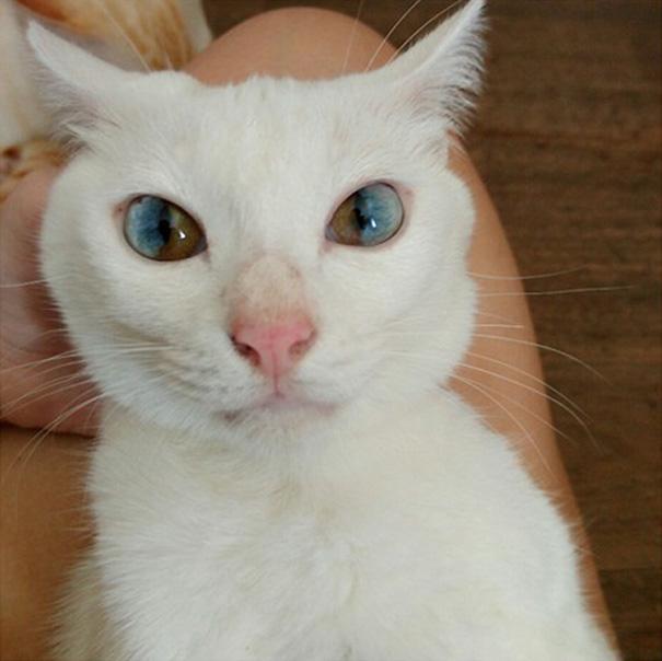 Як виглядають кішки із різнокольоровими очима  - фото 1
