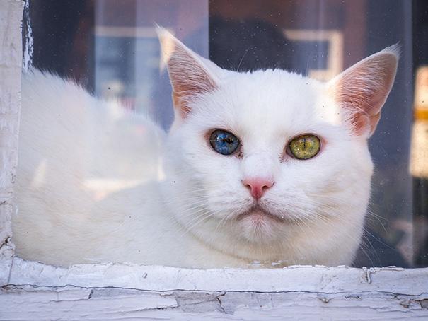 Як виглядають кішки із різнокольоровими очима  - фото 2