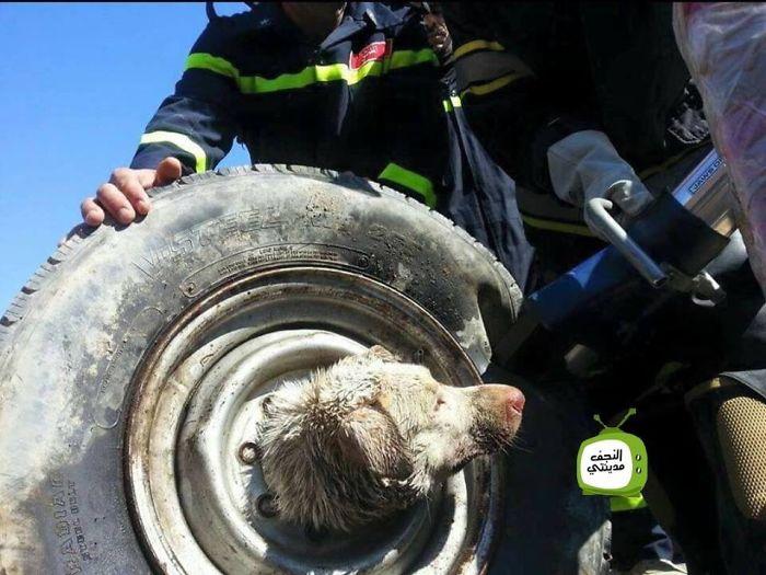 Як в Іраку рятували собаку, який застряг в колесі  - фото 2