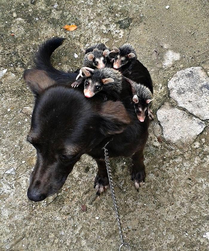 Як собака всиновила опосумів та постійно возить їх на спині - фото 3