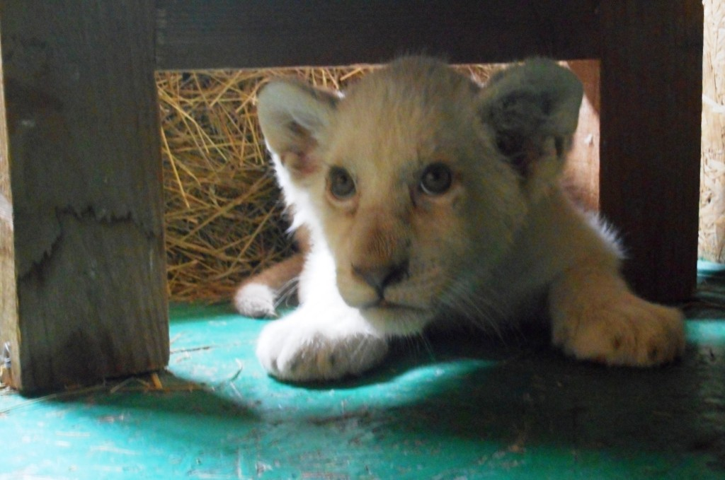 У зоопарку на Запоріжжі з'явилося біле левеня