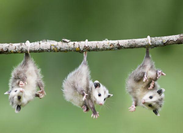 """""""Мімішні"""" тварини: дивовижні посуми та опосуми з Австралії - фото 14"""