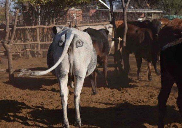 Австралійський еколог вважає, що коровам треба пара очей на дупі - фото 1