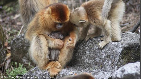 Як самці мавп приймають пологи у своїх дружин - фото 1