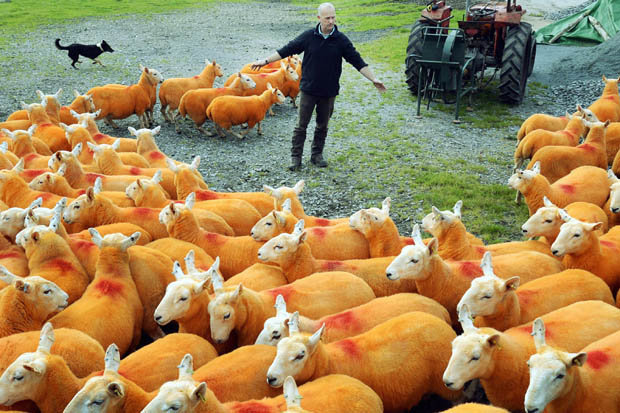 Фермер у Британії пофарбував помаранчевим 800 овець (ФОТО) - фото 2